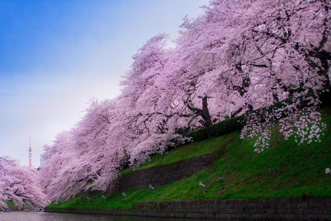 Sakura 2018 : dates prévisionnelles