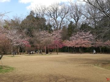 """Voici le parc derrière le musée Ghibli, les premières floraisons """"le 09/03/2017"""""""