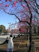 """Première floraison au Parc Ueno """"photo prise le 9 mars 2017"""" une matinée bien ensoleillée"""