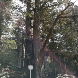 L'arbre sacré à Nikko, Japon. Il se trouve au milieu des sanctuaires et en pleine forêt, sublime !
