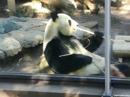 Quoi on avait pas encore mis le panda? Le voici entrain de manger à l'ouverture du Zoo de Ueno
